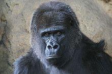Gorilla at Ueno