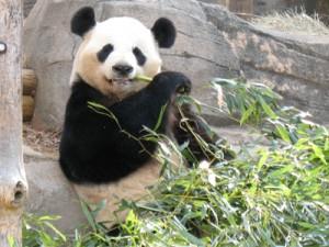 Ueno-zoo panda